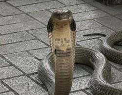 В Бангкоке змеи выползают на улицы