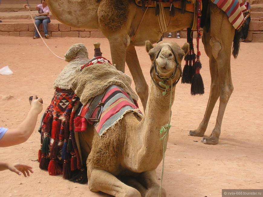 По дорогам Петры можно пройти верхом на корабле пустыни