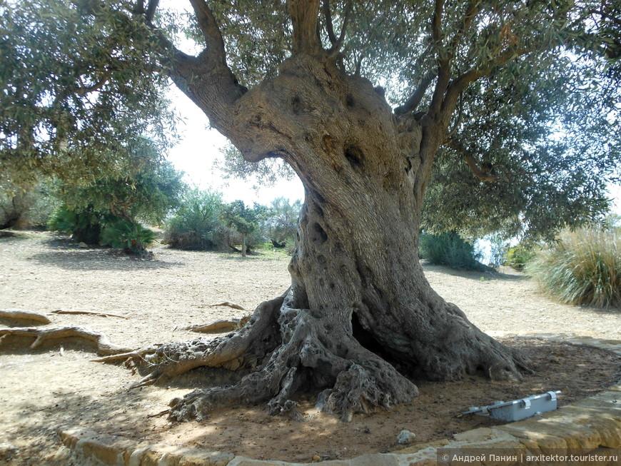 Древняя олива в археологическом парке.
