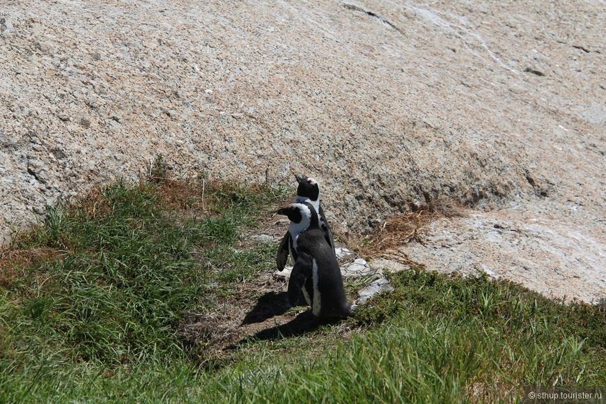 Пингвины на Мысе