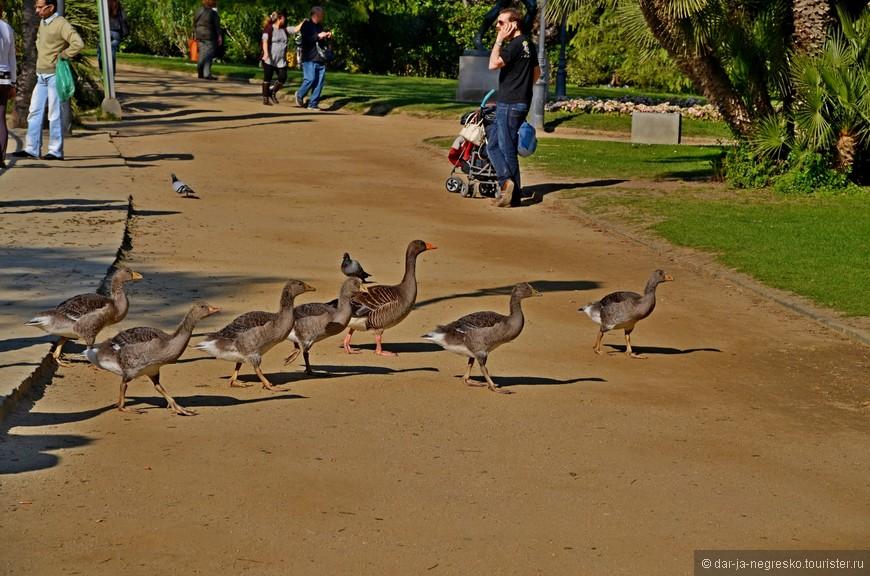 В Parc de la Ciutadella свободно гуляют водоплавающие, которым абсолютно наплевать на людей :)