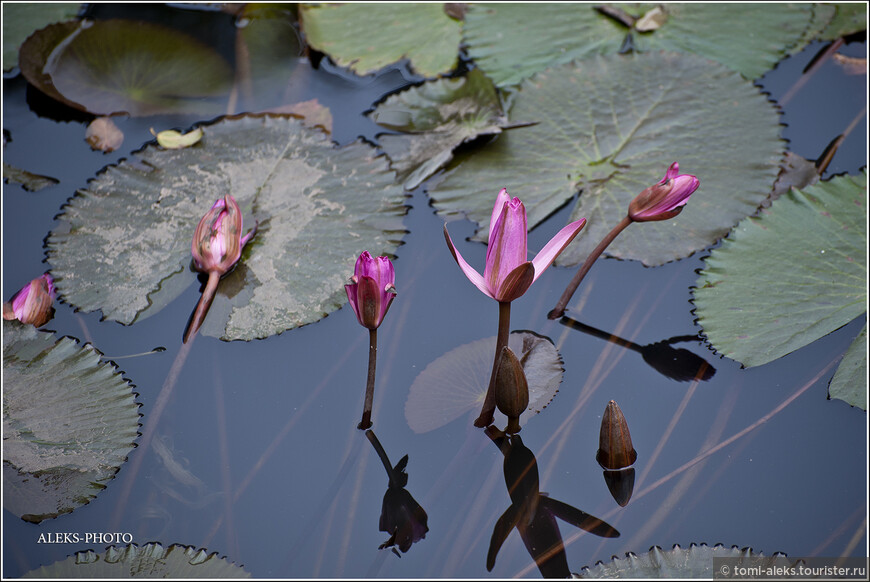 """""""Духом светел и чист, не подвластен ни грязи, ни илу, лотос в тёмном пруду - и не диво, что жемчугами засверкала роса на листьях"""". (Хэдзё)"""