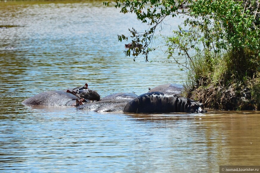 Бегемоты в озерце у Мары