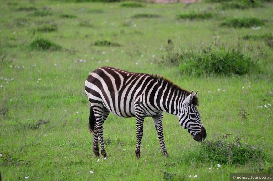 Равнинная зебра