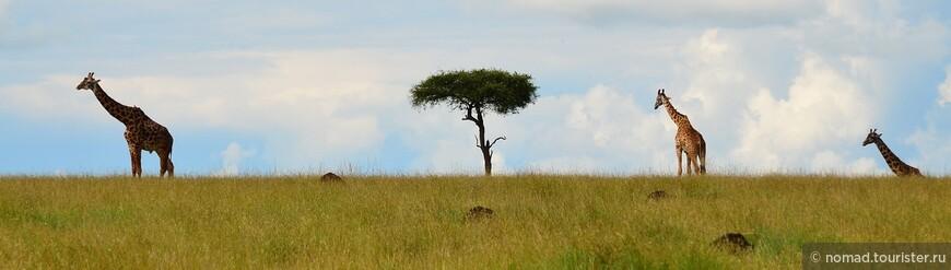 Жирафы+акация=Африка.