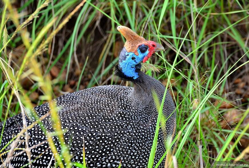Гвинейская цесарка