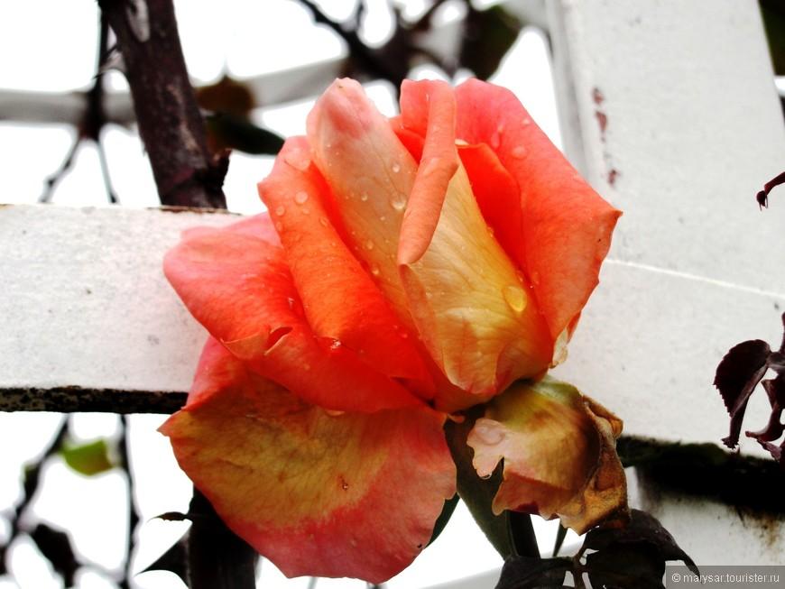 Январская роза так беззащитна!