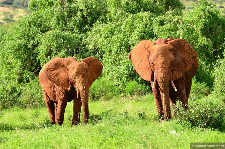 Красные самбурские слоны