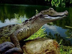 Рейс Абу-Даби - Каир посетил... крокодил