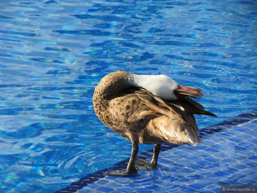 Каждое утро к бассейну прилетала утка.  Вот не знаю, чувствуют ли эти пернатые запах хлорки в том же объеме, что и человек, но спокойная водная гладь этой птице очень понравилась. Перво-наперво утка начинала чистить перышки. Умываться. Причесываться. Совсем как порядочная леди.