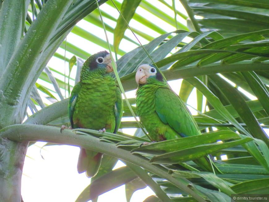 А на верхушках шелестящих от легкого бриза пальм идет своя жизнь. Крики и вопли слышны по всей округе. Это шумные зеленые попугайчики наслаждаются на все включено.
