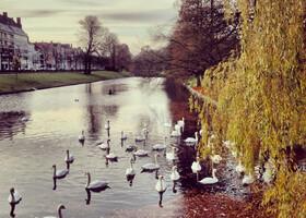 Лебеди - украшение Брюгге
