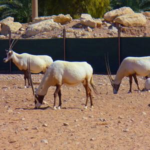 Зоопарк Аль-Айна