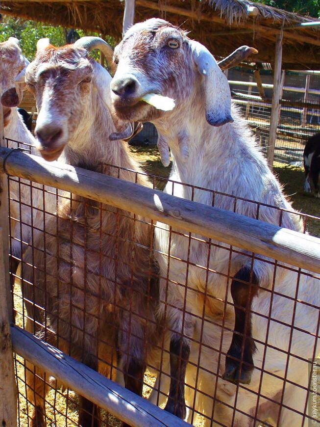 Жили-были два брата: козел да баран...