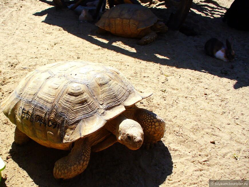 Носит панцирь черепаха Прячет голову от страха (с)
