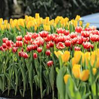 О погоде...тепло и солнечно,тюльпаны абсолютно спокойно цветут и пахнут))