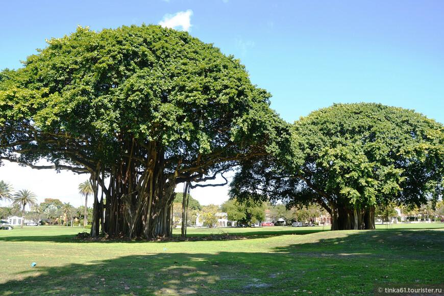 Деревья баньяны.