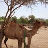 По дороге мы встречаем верблюдов