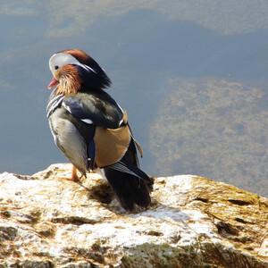 Вот такой красавец живет на Женевском озере.