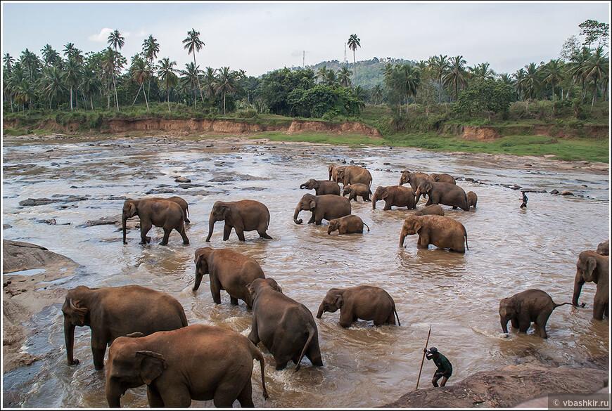Слоновий питомник в Пиннавеле. Купание слонов.