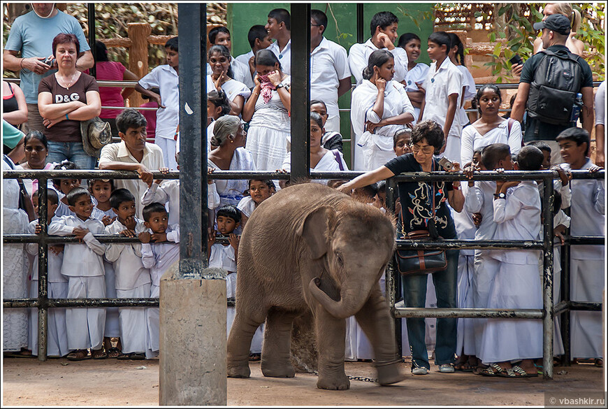 Слоновий питомник в Пиннавеле. Кормление маленьких слонят.