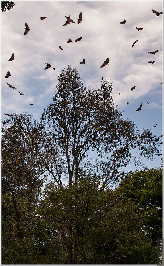 Ботанический сад в Канди (Перадения). Деревья и мыши.  Фото дочери.
