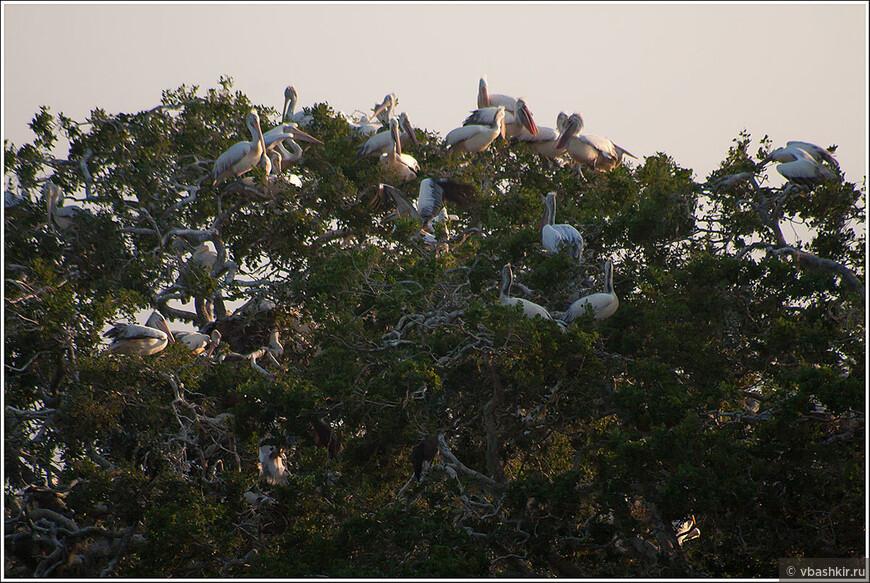 Сафари в Яла. Пеликанье дерево.