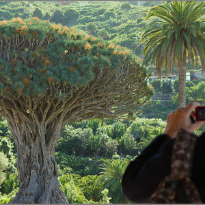 Знаменитое драконовое дерево в Икод-де-лос-Винос.
