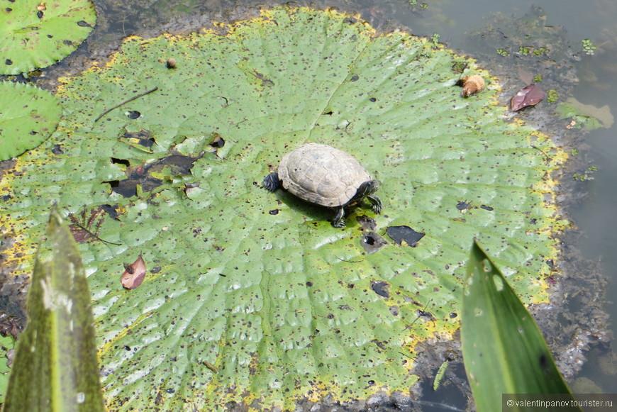 Центральное место в ботаническом саду занимает озеро, населенное огромным количеством черепах. Вот одна из них.