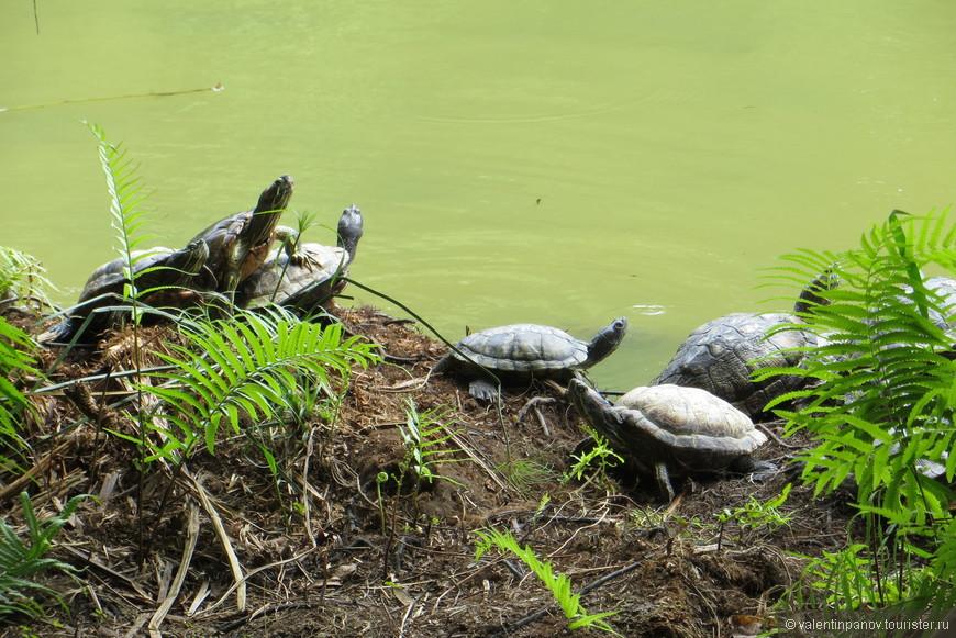 Черепашки подпускают к себе метра на полтора-два. Как только приближаешься на более короткое расстояние - шустро ныряют в озеро. Иногда они пасутся и, как мне показалось, любят друг друга.