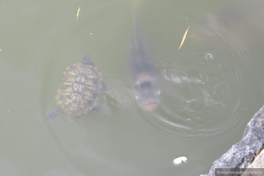 К черепашке подплыл огромный сом и пытается ее рассмотреть.