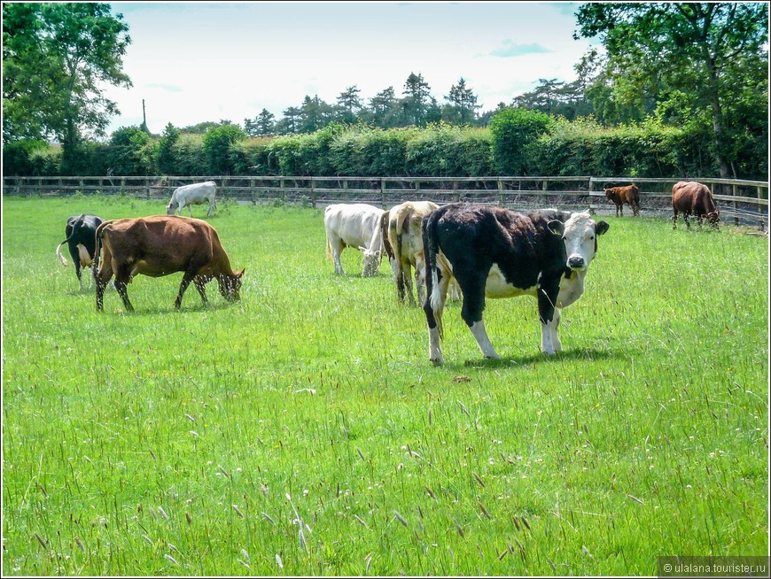 Коровы - мое любимое животное)