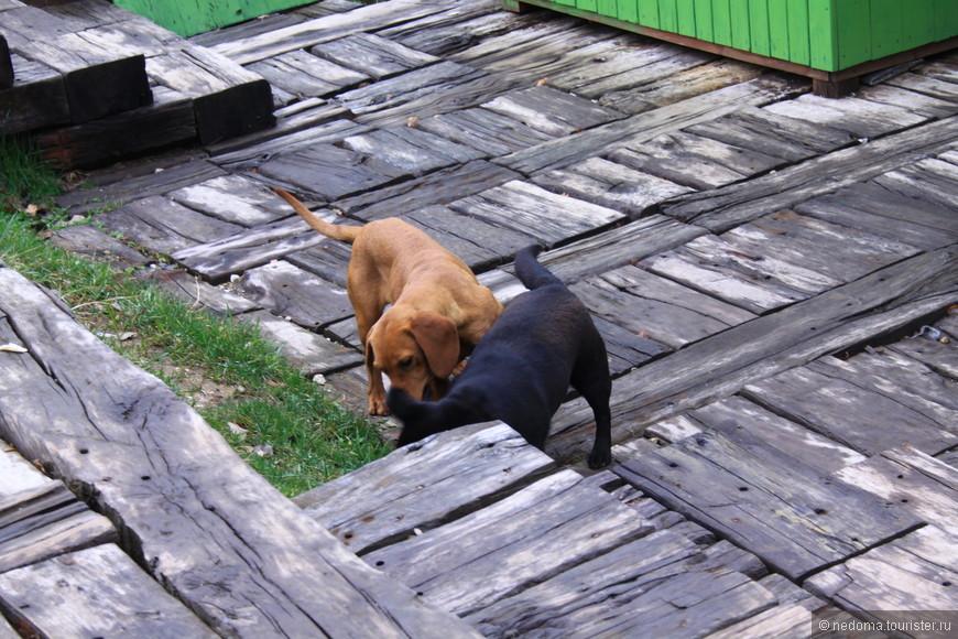 рыжая песка-черный пес :)