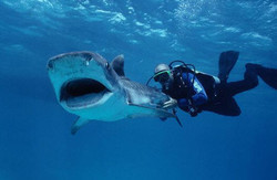 Испания расскажет о дайвинге с акулами