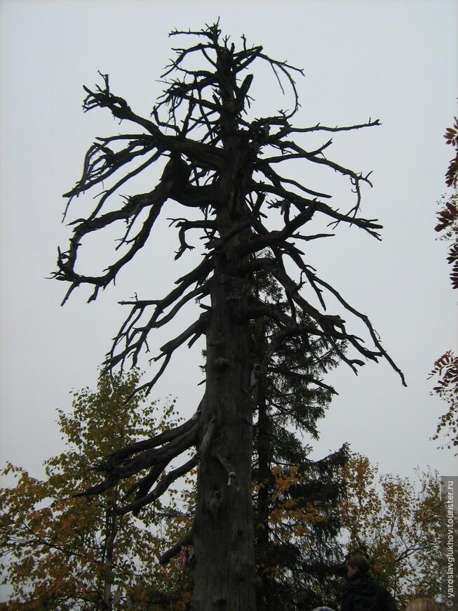 Чёртово дерево.