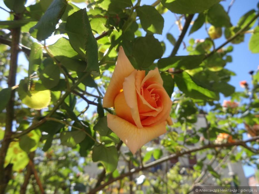 Венецианские розы отцветают в апреле