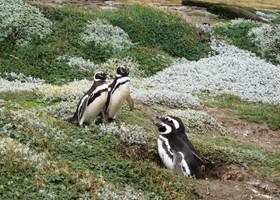 Пингвинятник Отвэй, Пуэрто-Наталес, янв.2010г