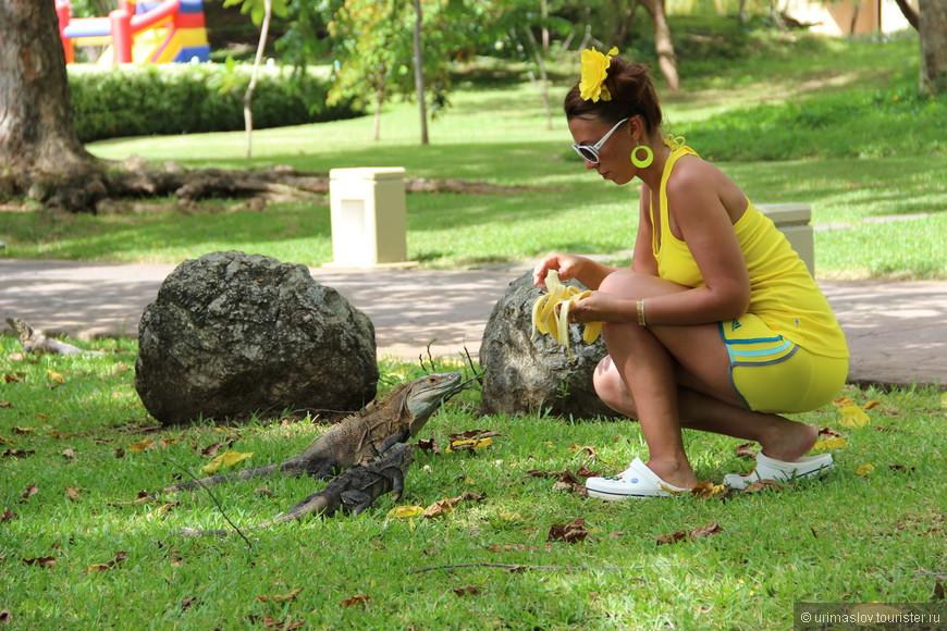 На территории отеля не было много диких обезьян, но зато было очень много диких игуан! Иногда до 7 штук одновременно в поле зрения. Разнообразные, цветные и очень красивые. От бананьев просто дурели. Даже дрались между собой.