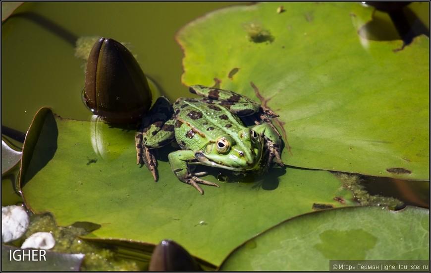 единственная лягушка на все озеро