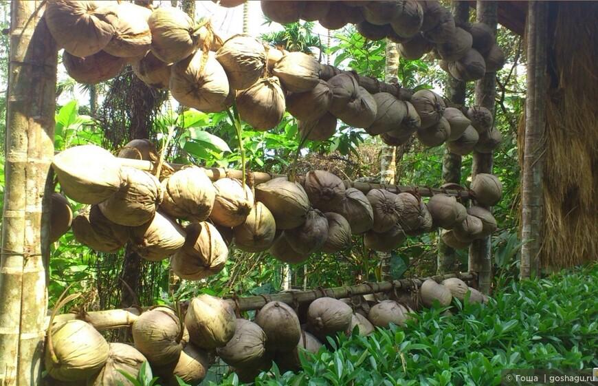 это будущие кокосовые пальмы.