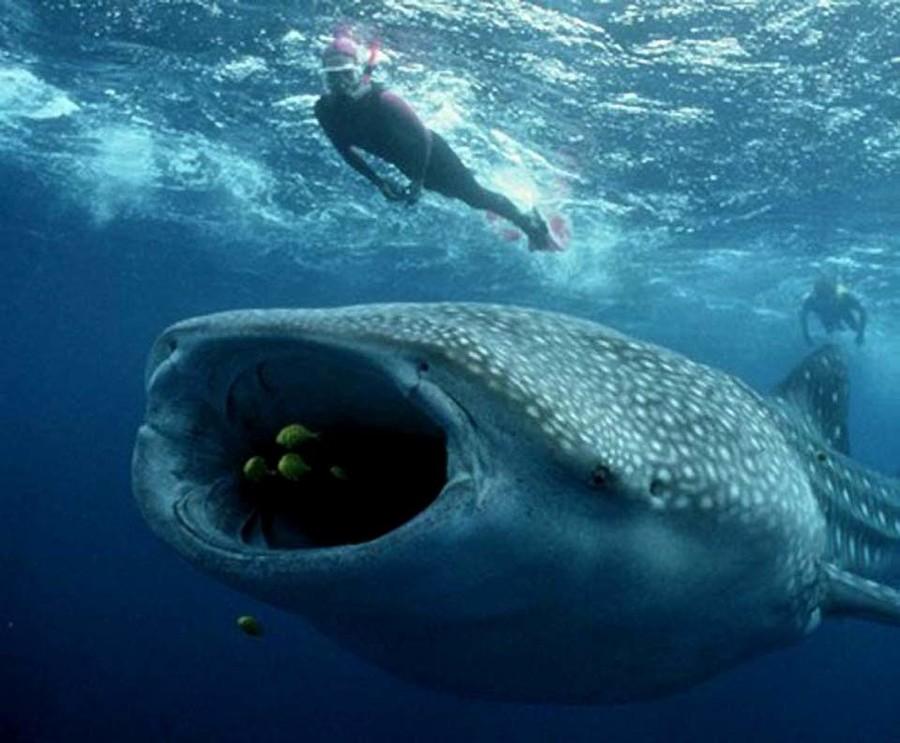 Картинка про самую большую акулу в мире