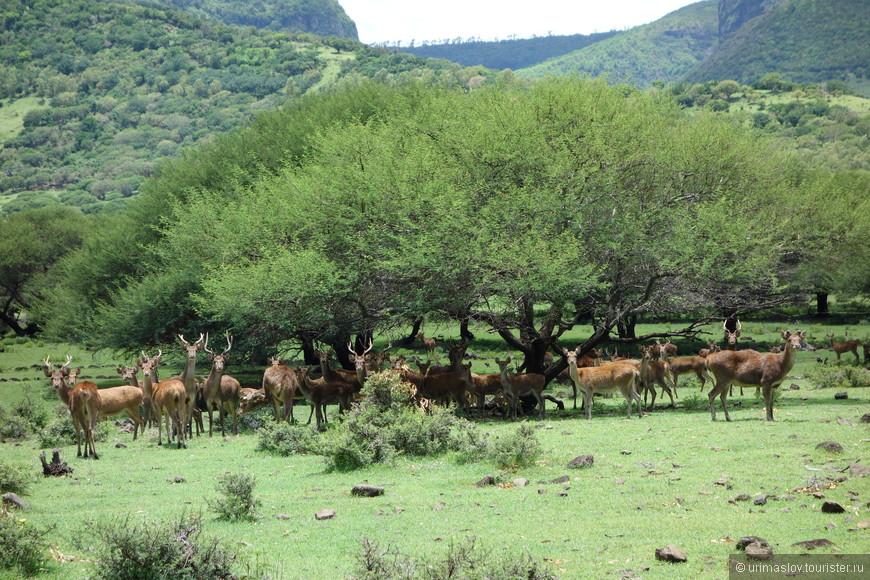 Оленье стадо. Весьма пугливые олени, дикие.