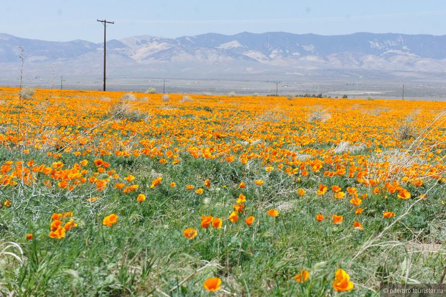 Апрель-май - время калифорнийских маков