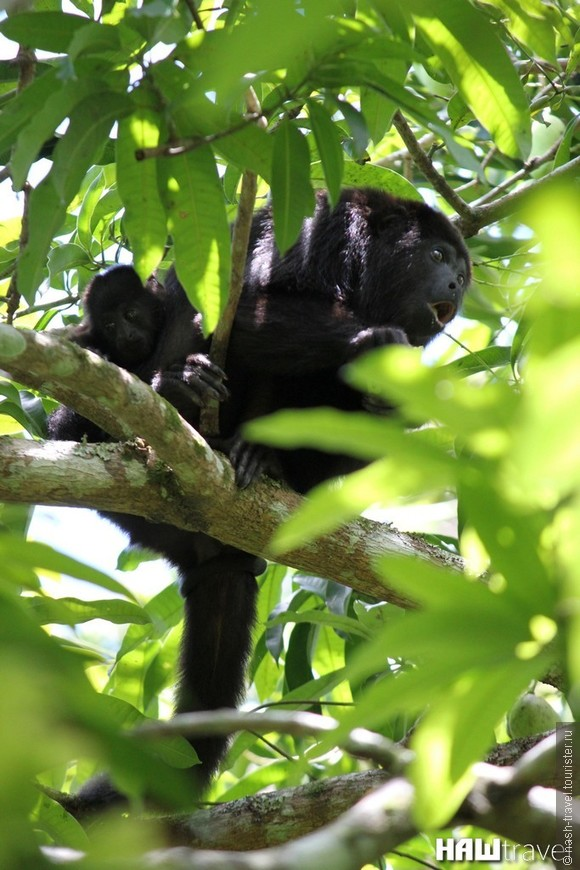 Black Howler Monkey with the baby eating green mango  Обезьяна Ревун с малышом  ест зеленое манго
