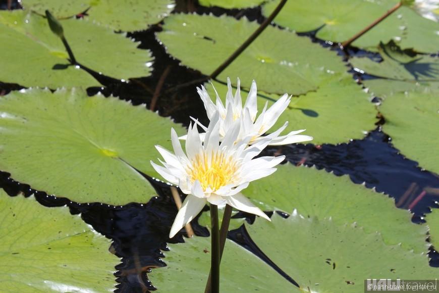 Водные лилии