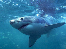 Напавшая на россиян в Египте акула поймана
