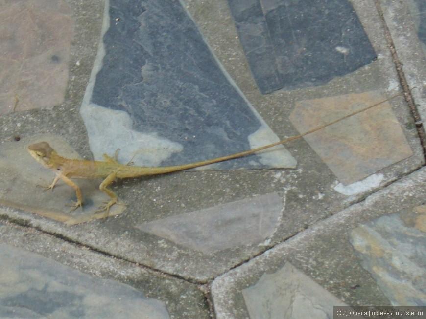 какая-то ящерица длиннохвостая у нас в отеле по дорожкам бежала, на задних лапах преимущественно