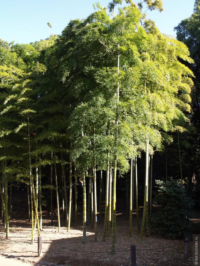 Я первый раз увидел как растут бамбуки. До этого встречал его только в виде удочки :).