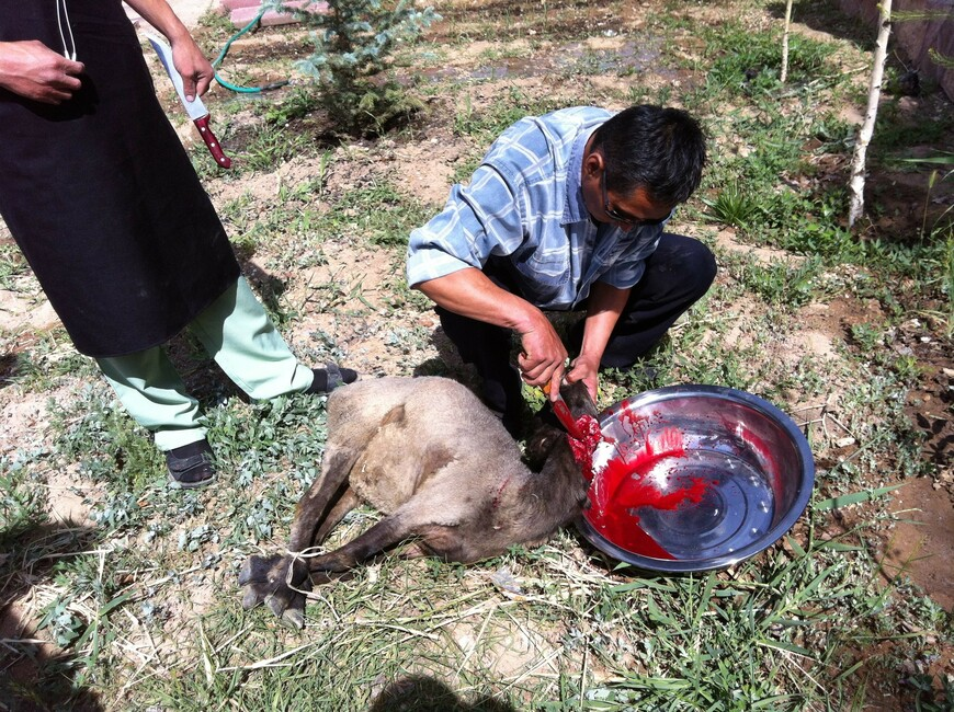 А это уже барашек в июне 2012 года, на том же озере Иссык-Куль.