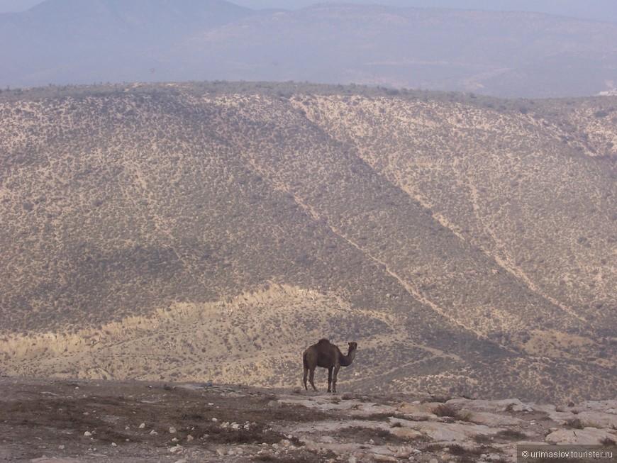 Одинокий верблюд.